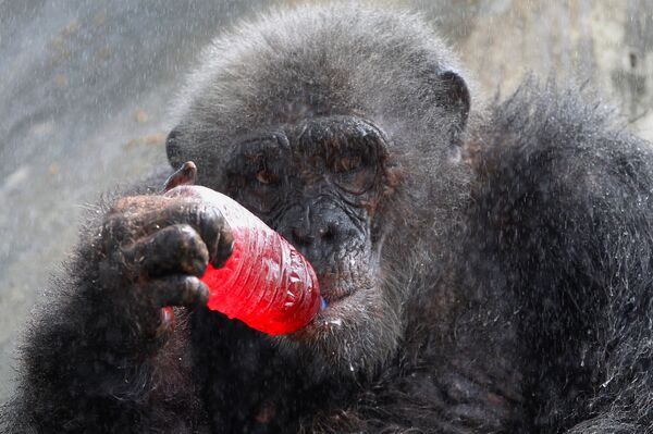 Шимпанзе в зоопарке Дусит в Бангкоке