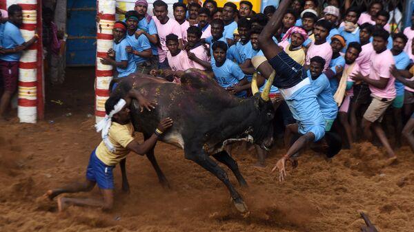 Игры по укрощению быков Джалликатту в Индии