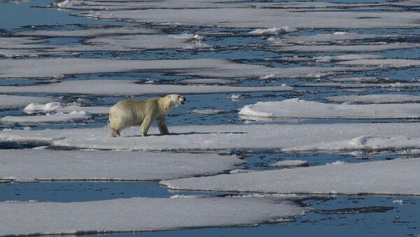 Белый медведь в Северном Ледовитом океане между Землей Франца-Иосифа и Северным полюсом. Архивное фото