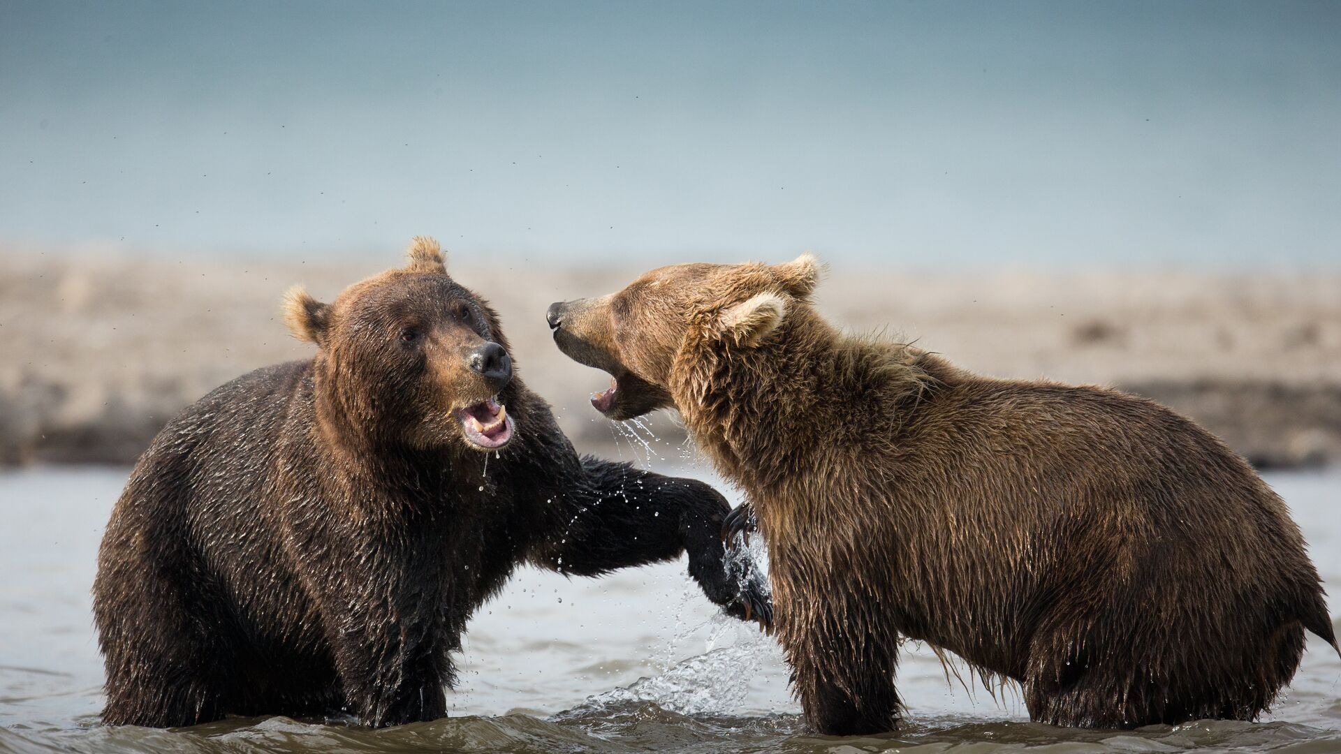Камчатские медведи - РИА Новости, 1920, 30.09.2020