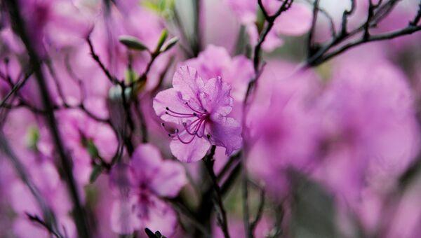 Цветы багульника (рододендрон даурский). Архивное фото