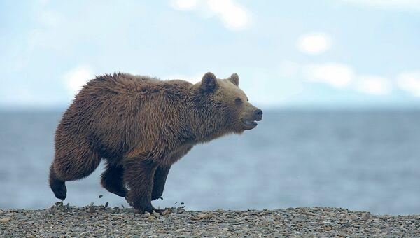 Бурый медведь. Архивное фото