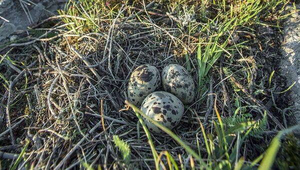 Птичье гнездо на острове Соммерс