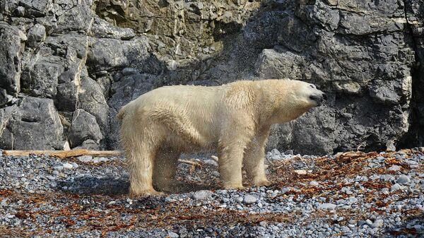 Белый медведь на острове Пуховый. Новая Земля. 2016.