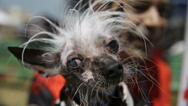 Китайская хохлатая по кличке Раскаль во время конкурса на звание самой уродливой собаки в мире