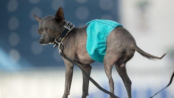 Китайская хохлатая по кличке Джейк во время конкурса на звание самой уродливой собаки в мире