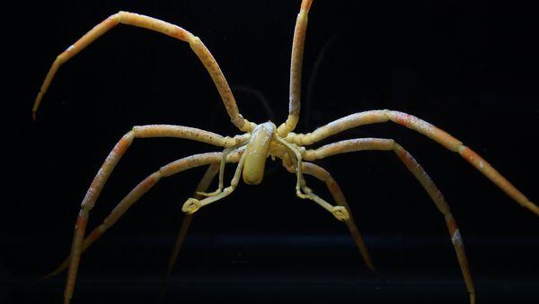 Морской паук, чей кишечник исполняет роль сердца