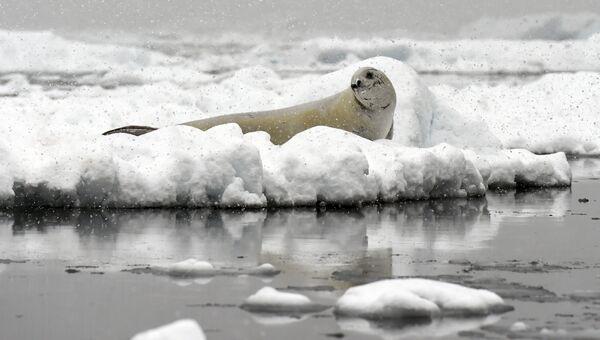 Тюлень на льдине в Антарктиде