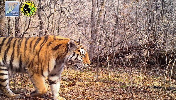 Молодая тигрица, появившаяся в Уссурийском заповеднике в 2016 году. На левом плече у тигрицы примерно месяц заживает рана. Май 2017 года