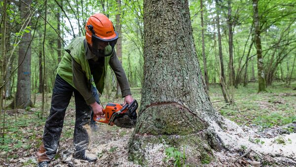 Рабочий во время санитарной вырубки дерева в Беловежской пуще. Архивное фото