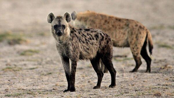 Гиена в национальном парке Амбосели в Кении