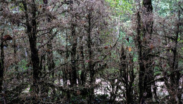 Погибшие самшитовые деревья в Апшеронском районе Краснодарского края