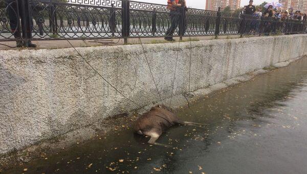 Спасение лося в Москве