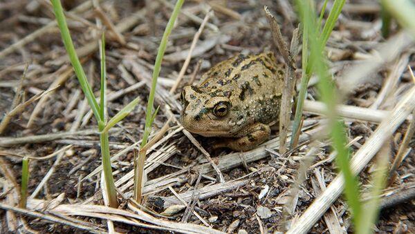 В Прибайкальском нацпарке создадут резерват для монгольской жабы