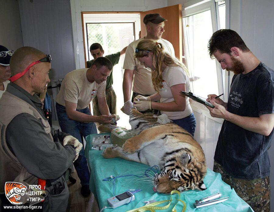 Специалисты оценили общее состояние зверя, произвели необходимые замеры и взяли анализ крови