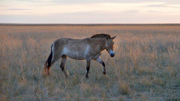Девять лошадей Пржевальского выпущено на волю