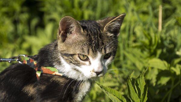 Кошка на шлейке