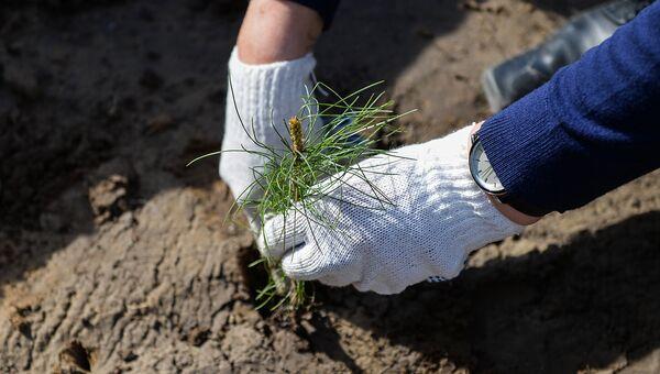 В национальном парке Смольный посадили 100 000 саженцев сосны