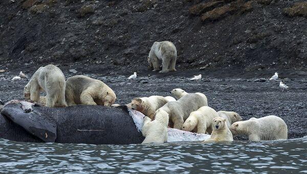 Уникальное скопление белых медведей на острове Врангеля