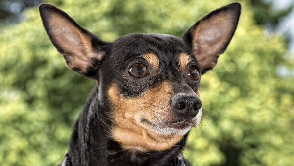Собака породы карликовый пинчер. Архивное фото