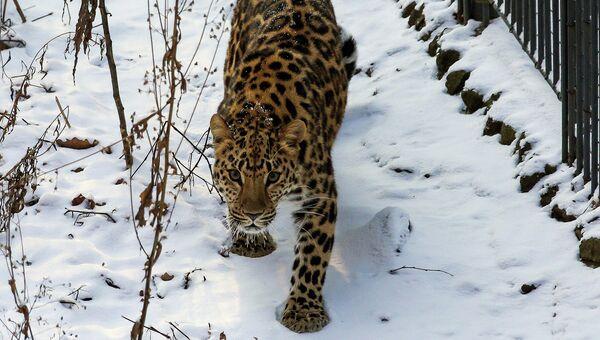 В Приморском сафари-парке появилась самка дальневосточного леопарда