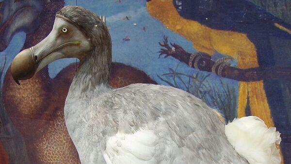 Вымерший вид нелетающей птицы додо в Музее естественной истории Оксфордского университета. Архивное фото