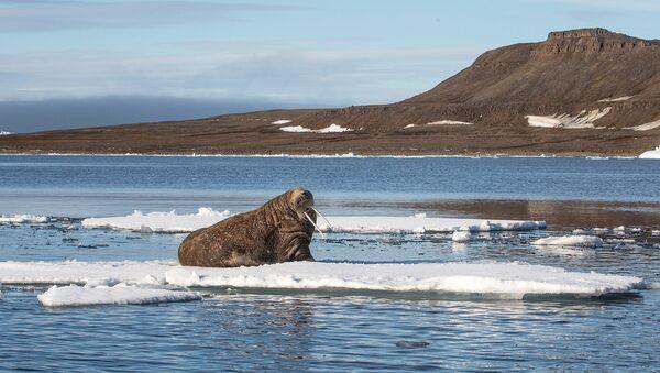На Севере моржи являются объектом охотничьего промысла. Шкуры, бивни, жир и другие части тела млекопитающего издавна использовались в хозяйстве жителями Крайнего Севера.