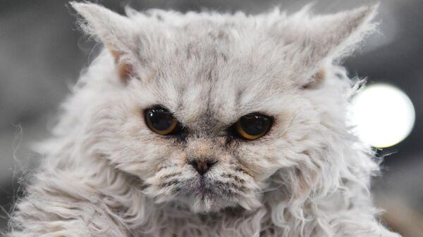 Кошка породы селкирк рекс на международной выставке Гран-при Royal Canin-2017 в Москве