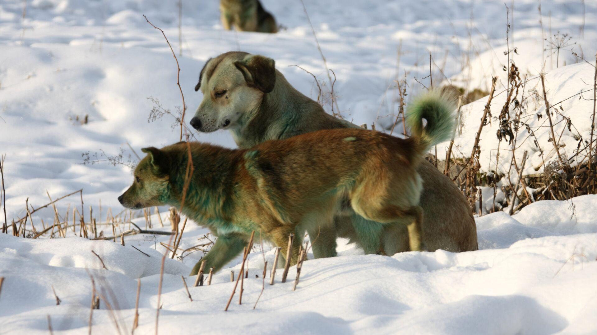 Бродячие собаки из стаи, проживающей у несанкционированной свалки на северной окраине Екатеринбурга. Их шерсть приобрела зеленоватый оттенок вследствие воздействия неустановленного химического вещества, высыпанного на свалку - РИА Новости, 1920, 11.02.2021