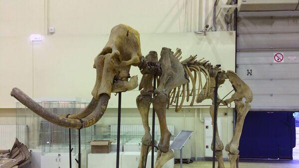 Скелет шерстистого мамонта