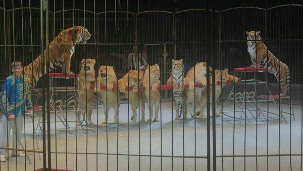 Номер со львицами в цирке Владивостока