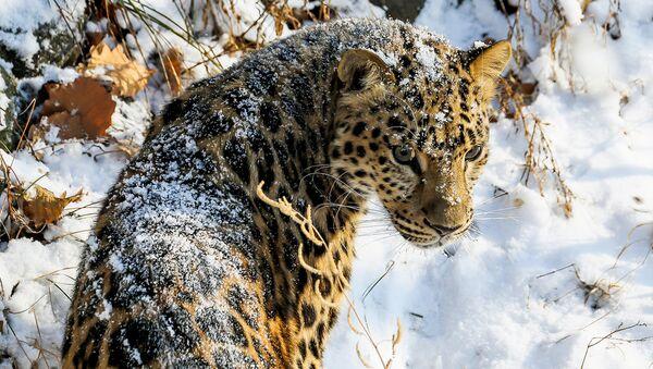Популяция дальневосточных леопардов увеличилась втрое