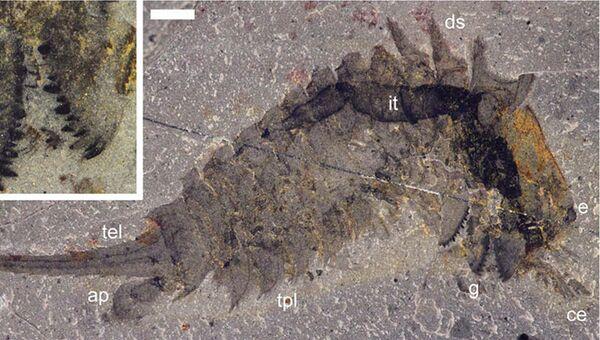Отпечаток тела Habelia optata, крайне причудливого предка пауков, скорпионов и клещей