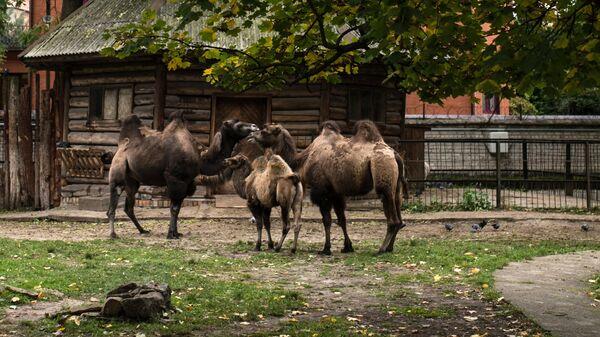 Двугорбые верблюды в Калининградском зоопарке. Архивное фото