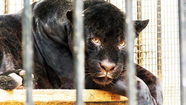 Пантера в зоопарке. Архивное фото
