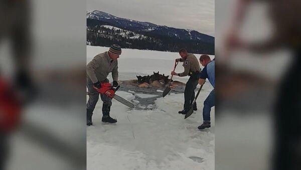 Мужчины топором, лопатой и бензопилой прорубали путь застрявшим во льдах лосям