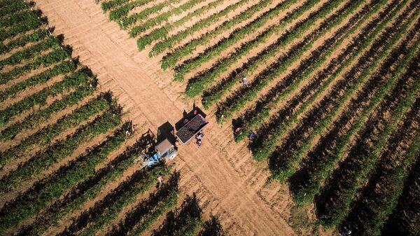 Сбор урожая винограда сорта Саперави на винодельческом предприятии Фанагория в Краснодарском крае