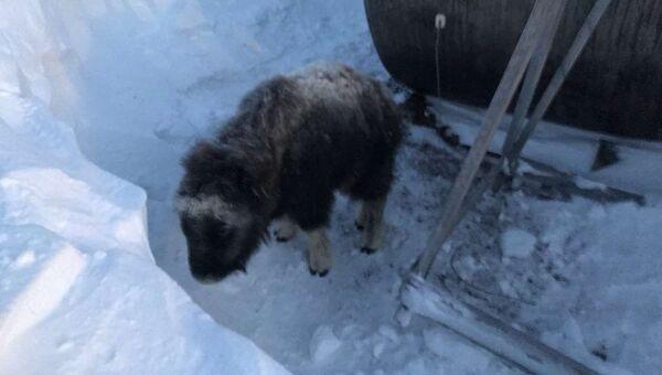 Спасенный теленок овцебыка в заповеднике Остров Врангеля