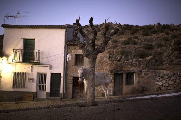 Привязанная к дереву лошадь стоит до начала огненного фестиваля Las Luminarias в Испании