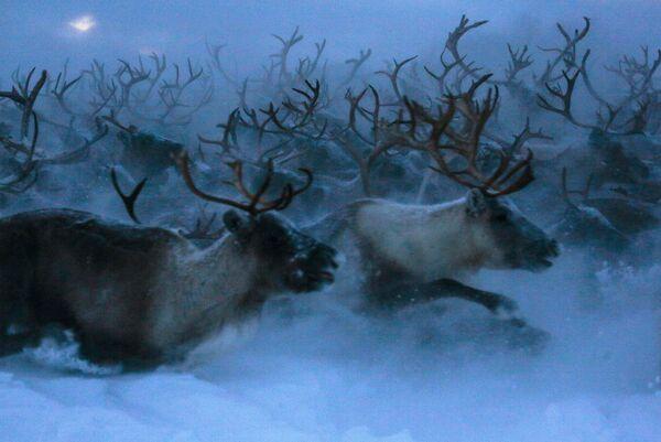 Северные олени в Мурманской области