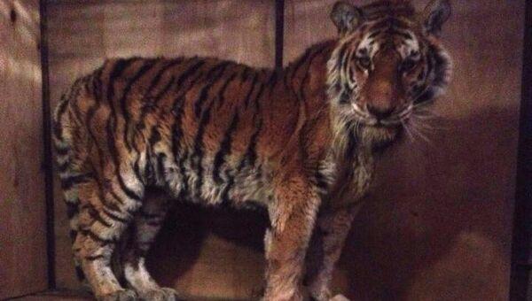 Истощенная тигрица в реабилитационном центре в селе Алексеевка Приморского края
