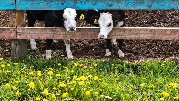 Коровы на ферме агрохолдинга АгриВолга