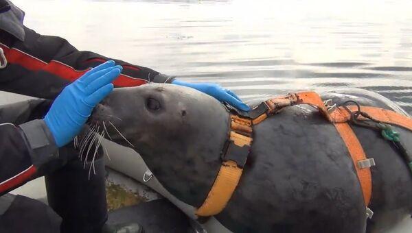 Тюлени для армии: как в Мурманске тренируют необычных бойцов