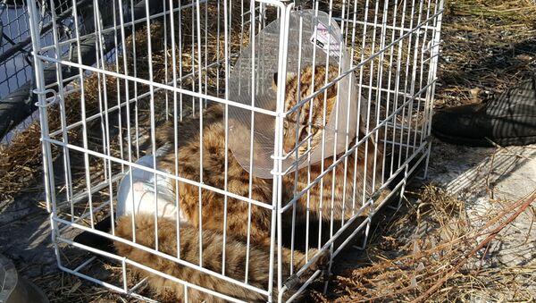 Дальневосточныйо лесной кот, найденный 14 февраля около дороги в районе поселка Новая Москва в Приморском крае. Архивное фото
