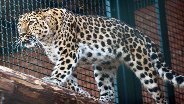 Дальневосточный леопард. Архивное фото