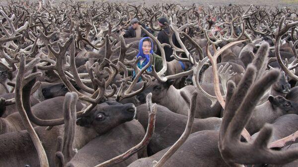 Ненцы среди оленьего стада, полуостров Канин, Ненецкий автономный округ