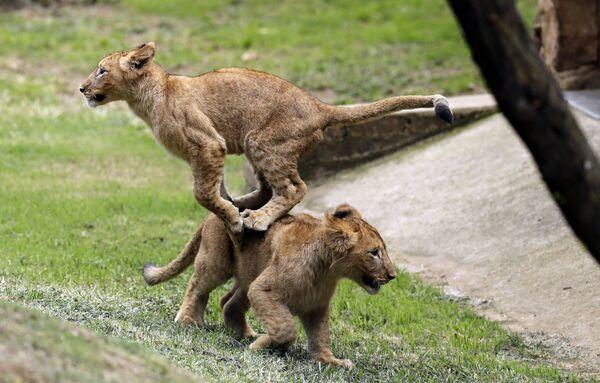 Львята играют в Йоханнесбургском зоопарке, Южная Африка