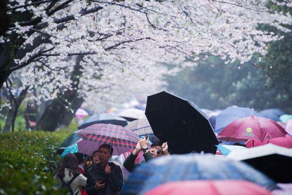 Цветение сакуры в провинции Хубэй в Китае