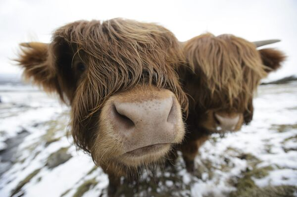 Коровы породы Хайленд пасутся неподалеку от Глазго, Шотландия
