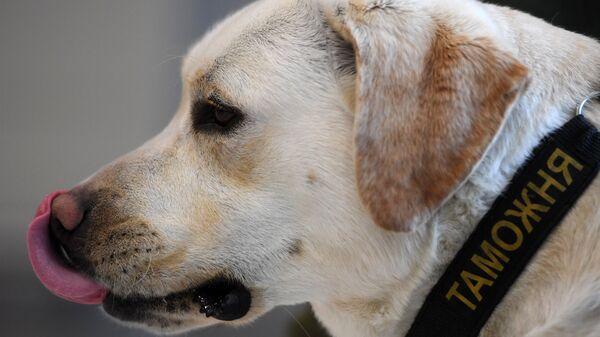 Служебная собака кинологической службы таможни в международном аэропорту Казань